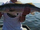 stripe bass fishing