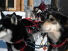 Sled dog riding
