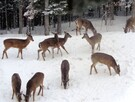 The white-tailed deer, our friends for winter
